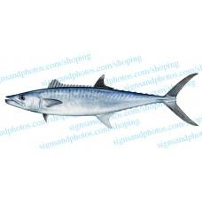 King Mackerel Decal