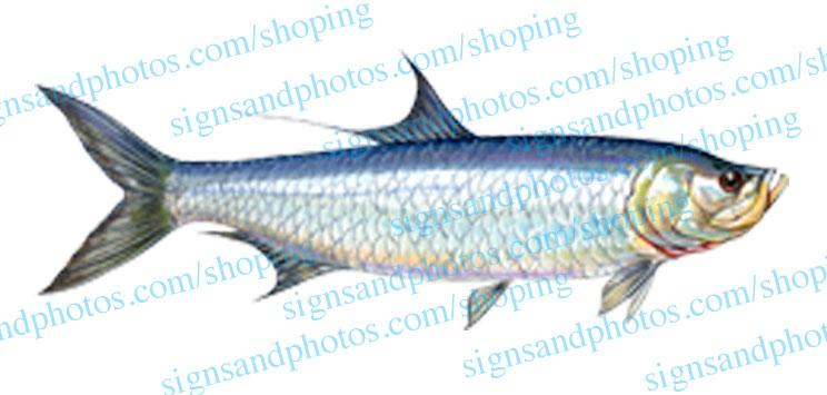 Tarpon Fish Decal